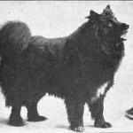 Lapland-Sheepdog