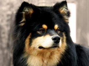 Fínsky laponský pes